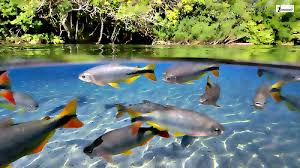 freshwater wallpaper. Plain Freshwater Freshwater Tropical Fish Wallpaper Posted By Wonderful Beautiful Photograph  Images On 20131029 060744 Tagged   To Wallpaper