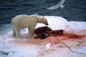 polar bear eating shark polar bear eating shark photo 4