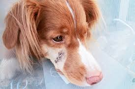 scar heal this dogs