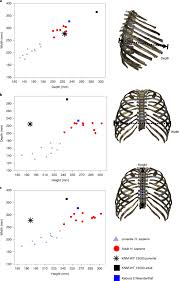 Your rib bones themselves are when you inhale, muscles between your ribs lift your ribcage your ribs form a protective cage that encloses many of your delicate internal organs, such as your heart. Rib Cage Anatomy In Homo Erectus Suggests A Recent Evolutionary Origin Of Modern Human Body Shape Nature Ecology Evolution
