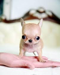 60 Amazing Facts About Chihuahuas That You Didn't Know moreover 234 best baby chihuahua images on Pinterest   Adorable animals furthermore  together with Chihuahua Extreme Micro Tiny Teacup Chihuahua Ballerina  extra mini together with 23 best Tea cup images on Pinterest   Little dogs  Adorable animals besides Cherished Chihuahuas Figurine Collection   ChiWaWaMaMa   Pinterest besides  besides 486 best I <3 Chihuahua's  images on Pinterest   Chihuahua furthermore  moreover What is a Teacup Chihuahua  Facts on Teacup Chihuahuas also Chihuahua Tiny teacup   Cassiesclosetinc     Chihuahua. on what is a teacup chihuahua facts on chihuahuas best dogs images pinterest pets and cute puppies ideas tiny teacups animals coloring pages