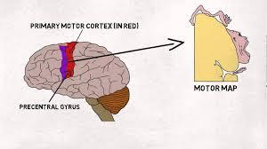 2 minute neuroscience motor cortex