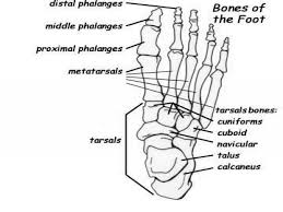Small Picture Nervous System Interact With The Skeletal System Foot Bones