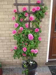 Best 25 Climbing Flowers Ideas On Pinterest  Climbing Flowering Wall Climbing Plants In Pots