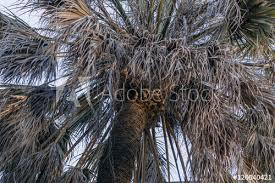 نتیجه تصویری برای dried palm tree