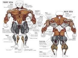 free t and workout plan to gain muscle