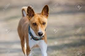 Basenji Dog Walking In The Park. Sunny ...