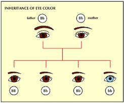 Eye Color Recessive Dominant Chart Dominant Or Recessive Heredity