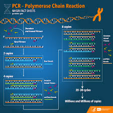 Polymerase Chain Reaction Pcr Fact Sheet National Human Genome