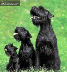 Size Chart Schnauzer Puppy Baby Dogs Dogs
