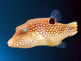 index of wp content gallery puffer fish