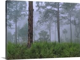 >saw palmetto and pine trees in fog near estero river florida wall  saw palmetto and pine trees in fog near estero river florida canvas