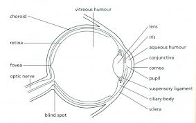 4800575 jpg diagram of the eye to label diagram 625 x 394