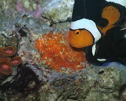baby clown fish eggs.  Fish CLOWN FISH SPAWN  YouTube With Baby Clown Fish Eggs E