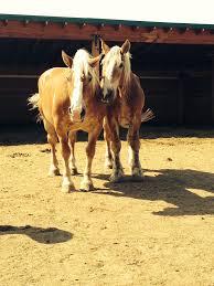 United In Light Draft Horse Sanctuary United In Light Horse Rescue Livingston Montana