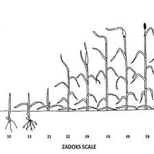 Wheat Growth Chart Pdf Winter Wheat Production Manual Ch 10 Growth Stages Of