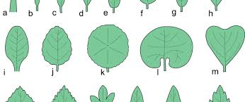 Types Of Leaves  The Tree Center™Fruit Tree Leaf Identification