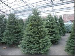 Popular Christmas Tree Types  Home Design U0026 Interior DesignTypes Of Fir Christmas Trees