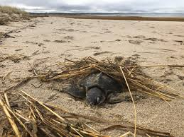 For Sea Turtles Cape Cod Bay Can Be A Deadly Trap In The