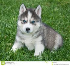 really cute baby husky puppies with blue eyes. Unique Blue Husky Puppy On Really Cute Baby Puppies With Blue Eyes U