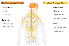 Cns Pns Chart Nervous System Bioninja