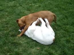 pitbull dog vs bulldog. Interesting Dog PIT BULL VS BULLDOG Throughout Pitbull Dog Vs Bulldog R