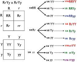 Mendelian Genetics Chart Punnett Square Wikipedia