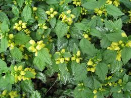 Lamiastrum galeobdolon - Michigan Flora
