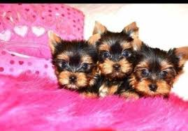 teacup yorkie puppies for adoption. Brilliant Teacup Image 1 Of Inside Teacup Yorkie Puppies For Adoption