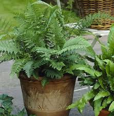 types of outdoor ferns. 1. lady fern types of outdoor ferns