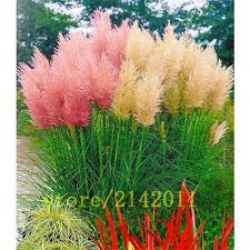 <b>400pcs</b>/<b>bag pampas garss</b>,<b>pampas</b> seeds,pampas grass plant ...
