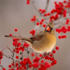 winter cardinal wallpaper. Exellent Winter Nature Winter Bird On Wild Red Fruit IPad Air Wallpaper With Cardinal Wallpaper N
