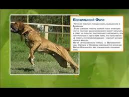 Собаки породы <b>Бразильский фила</b>, фила бразилейро. Рубрика ...