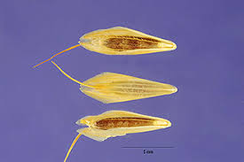 Plants Profile for Bromus squarrosus (corn brome)