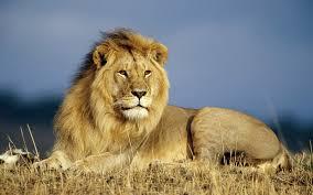 beautiful hd wallpapers of animals. Wonderful Animals Beautiful Wallpaper Of A Big Lion To Hd Wallpapers Of Animals L