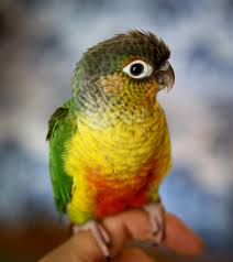 Green Cheeked Conure Facts Habitat Diet Adaptations Pictures