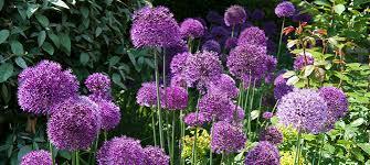 garden bulbs. Appealing Garden Bulbs R