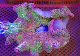 get a look at this rainbow carpet anemone