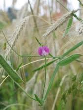 Lathyrus hirsutus (Austrian Winterpea, Caley Pea, Hairy Vetchling ...