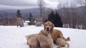 golden retriever puppies playing in snow. Plain Snow With Golden Retriever Puppies Playing In Snow