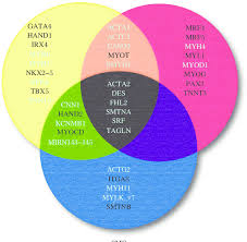Venn Diagram 3 3 Set Venn Diagram Of Genes Across The Three Muscle Cell Types