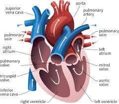 Cardiac Anatomy Chart Av And Semilunar Heart Valves