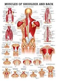 Laminated Anatomy Charts Muscles Of The Shoulder And Back Laminated Anatomy Chart