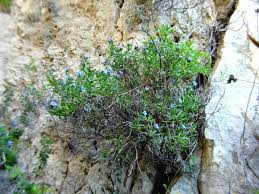 Lithodora rosmarinifolia - Wikipedia