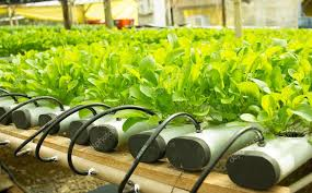 arugula plants growing in hydroponic culture stock photo