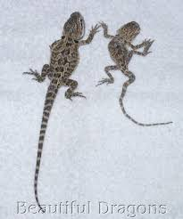 Bearded Dragon Length Age Chart Great Dragon 2017