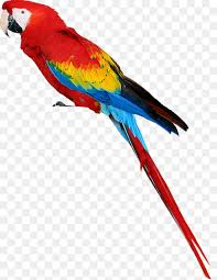 bird parrots of new guinea image resolution atoo