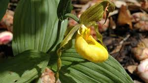 Cypripedium calceolus L. | Plants of the World Online | Kew Science
