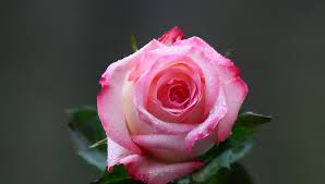 Image result for images of rose hd