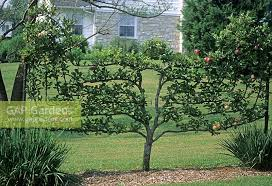 small cordon apple tree in lawn passadena usa